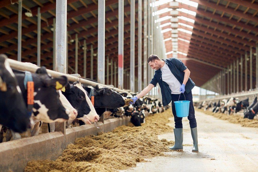 man feeding the cows