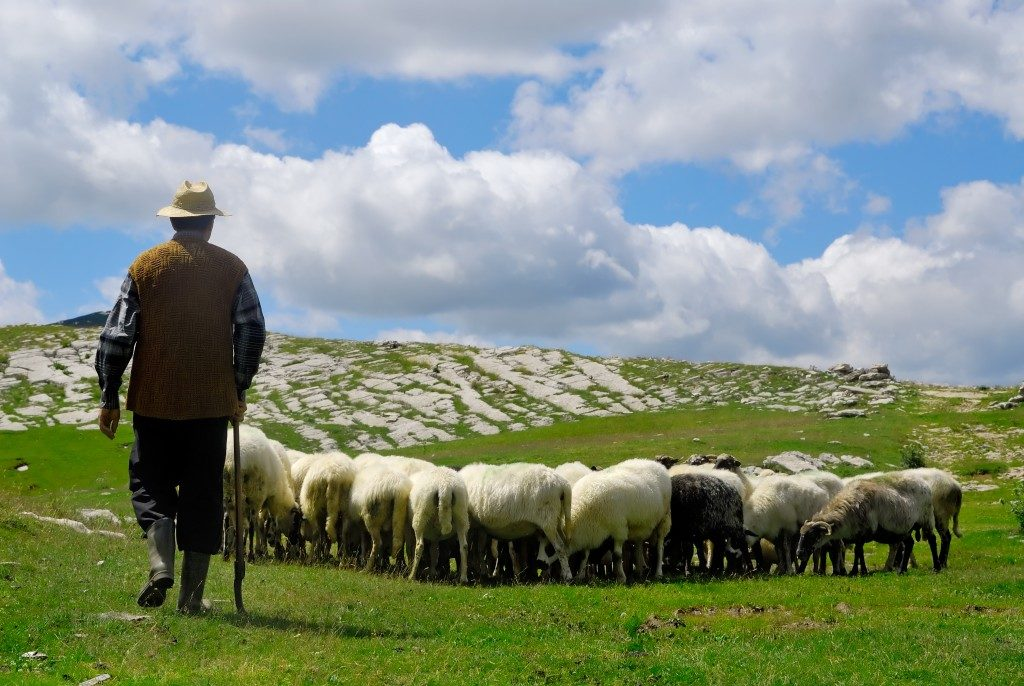 man manning the sheeps