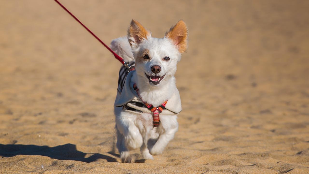 dog running in sand